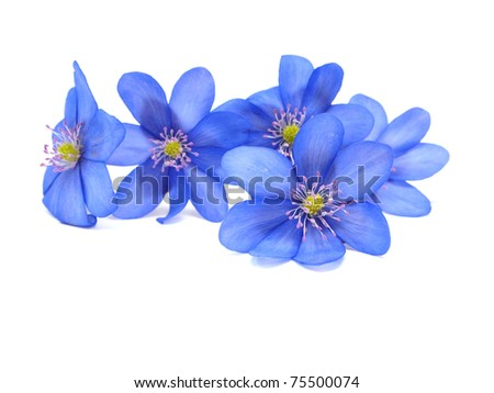 Hepatica nobilis flowers on a white background