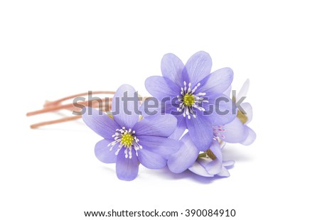 Hepatica nobilis isolated on white background - stock photo