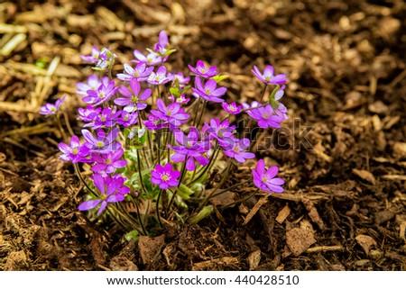 Hepatica nobilis - liverwort, hepatic, Spring blooming flower - stock photo