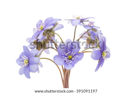 Hepatica nobilis on a white background