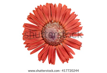 Her-barium of red gerber flower on a white background - stock photo