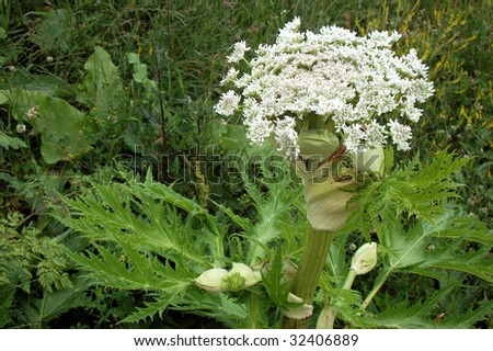 Heracleum mantegazzianum with a cone and several buds photographed from above. - stock photo