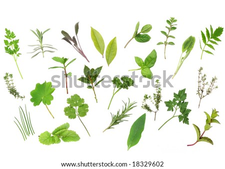 Herb leaf selection  of parsley, lavender, sage, bay, mint, oregano, valerian, thyme, ladies, mantle, spearmint, rosemary, chives, lemon, balm, comfrey, basil. Over white background. - stock photo
