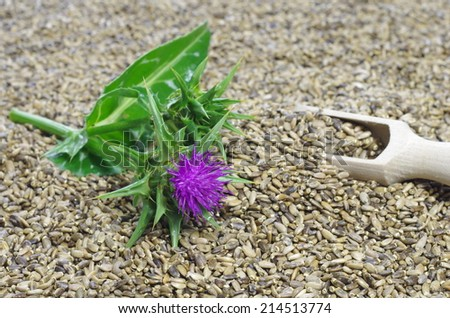 herb milk thistle silybum marianum on white background - stock photo