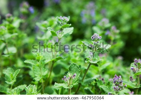 herb mint catnip. nature