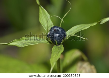 Herb Paris Berry - Paris quadrifoliaRare Woodland Plant - stock photo