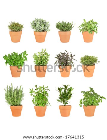 Herb plant selection growing in terracotta pots.  Over white background.