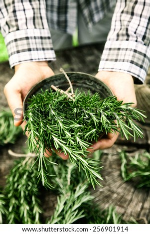 Herb Rosemary. Gardener is holding bunches of fresh rosemary. - stock photo