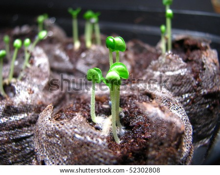 Herb Sprouts - stock photo
