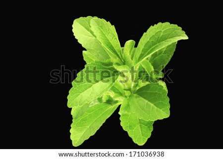 herb stevia in black background - stock photo