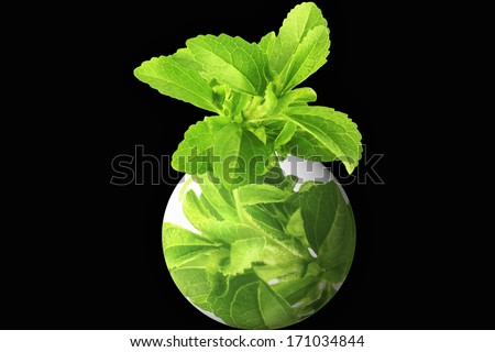 herb stevia with glob in black background - stock photo