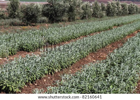 Herb white sage growing in israeli field. - stock photo