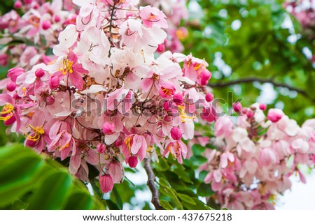herbaceous, perennial, nature, ground, cover, useful, mass, blooms, flower, gentle, delicate, lilac, petals, pastel, color, landscaping, low, white, background - stock photo
