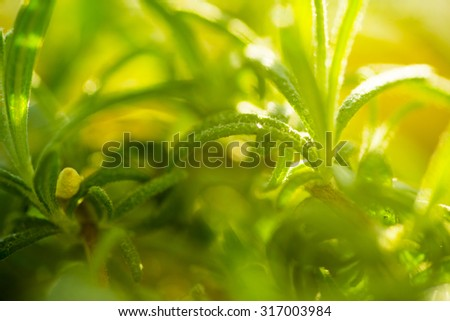 Herbal medicine series: close up of Rosemary herb, soft focus - stock photo