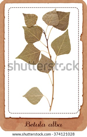 Herbarium dry pressed birch twig with leaves isolated - stock photo
