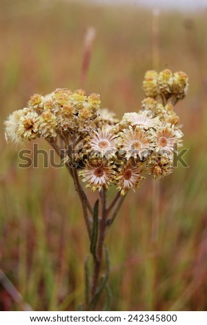 Herbarium. Flower in a field - stock photo