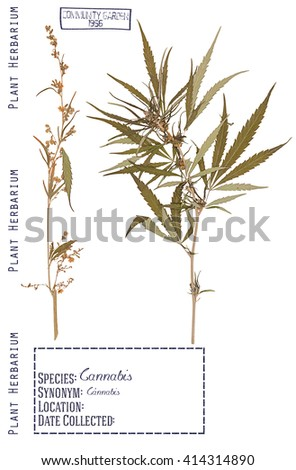 Herbarium of pressed parts of the male and female cannabis plants. Stem, leaves, flower isolated on white - stock photo