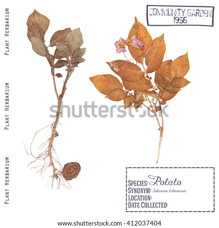 Herbarium of pressed parts of the plant potatoes. Leaf, stem, flower, root and tuber isolated on white - stock photo