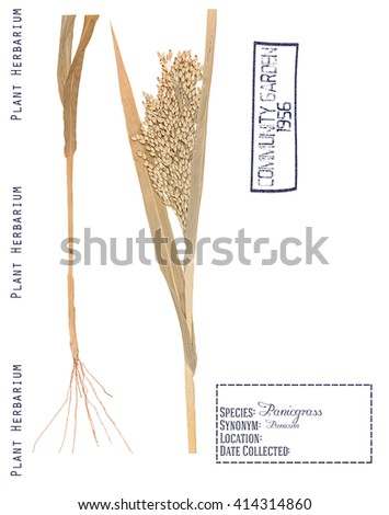 Herbarium of pressed parts panicum plants. Leaves, stem, roots and spikelet isolated on white - stock photo