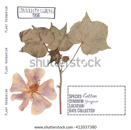 Herbarium pressed plant cotton. Flower, leave, stem isolated on white - stock photo