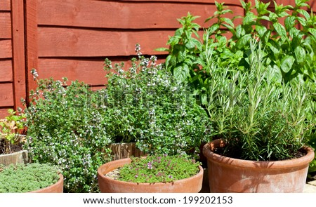 Herbs in pots - outdoor shot