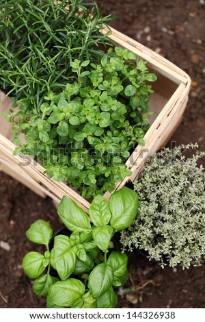 Herbs prepared for planting. Rosemary, oregano, thyme and basil. - stock photo