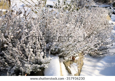 Herbs under snow in herbal rustic home garden. Winter thyme. - stock photo
