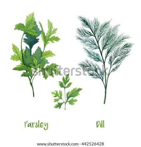 Herbs. Watercolor illustration. Parsley and Dill. - stock photo
