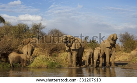 Herd African Elephants adults and young drinking at river - stock photo