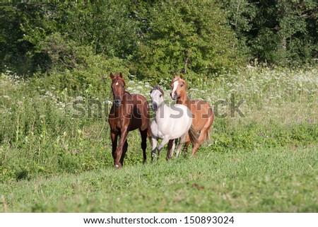 Herd horses running on meadow  - stock photo