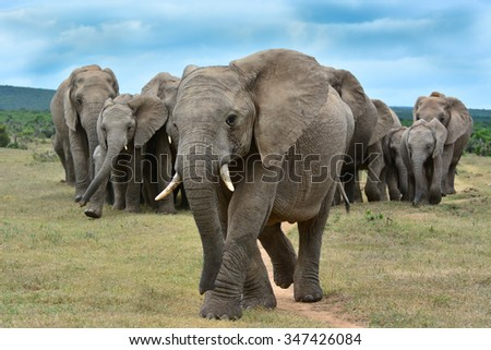 herd of African Elephant - stock photo