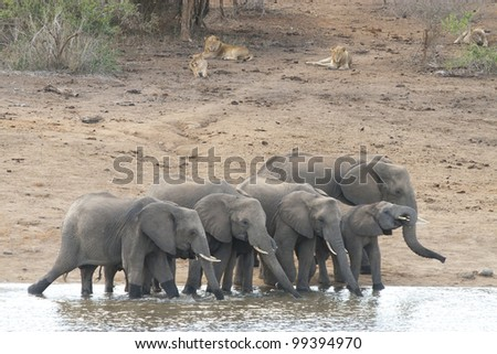 Herd of African Elephant (Loxodonta africana) drinking water with lions, South Africa - stock photo