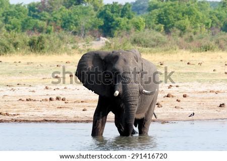 herd of African elephants drinking at a muddy waterhole, botswana, hwankee. True wildlife photography - stock photo