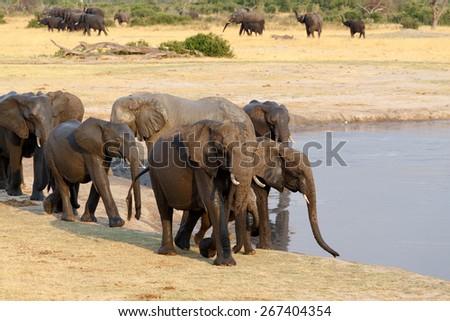 herd of African elephants drinking at a muddy waterhole, Etosha national Park, Ombika, Kunene, Namibia. True wildlife photography - stock photo