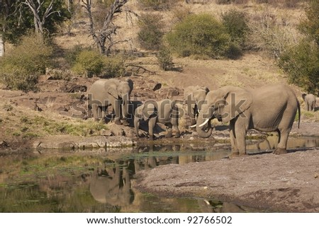 Herd of African Elephants (Loxodonta africana) drinking from a pool of water in a dried up river bed in Mashuta Game Reserve in Botswana