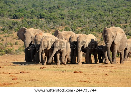 Herd of African elephants (Loxodonta africana) in natural habitat, Addo Elephant National Park, South Africa  - stock photo