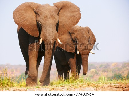 Herd of African elephants (Loxodonta Africana) standing in savannah in Botswana - stock photo