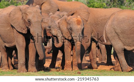 Herd of African Elephants standing together