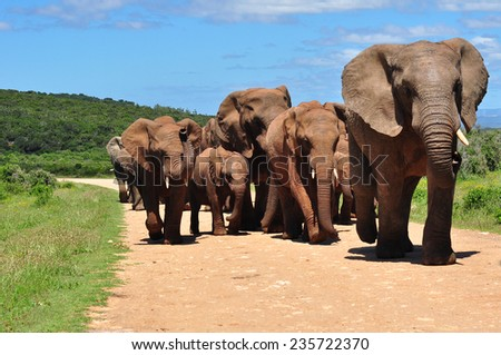 Herd of African Elephants walking - stock photo
