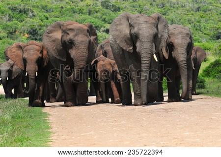 Herd of African Elephants walking - stock photo