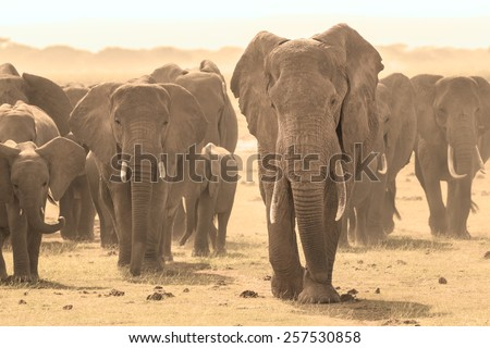 Herd of african elephants walking in savanna. African elephant societies are arranged around family units made up of around ten closely related females and their calves and is led by an older female. - stock photo