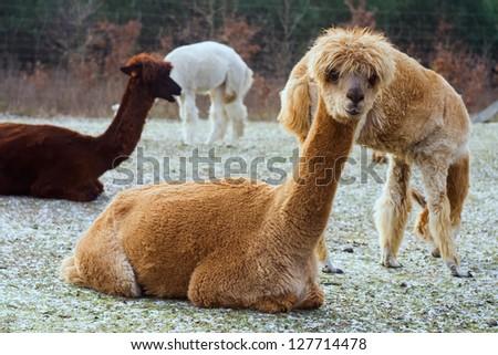 herd of alpacas. - stock photo
