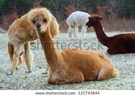 herd of alpacas. alpaca portrait. - stock photo