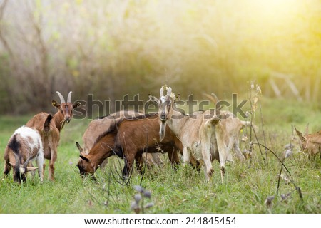 Herd of alpine goats grazing on meadow and looking at camera - stock photo