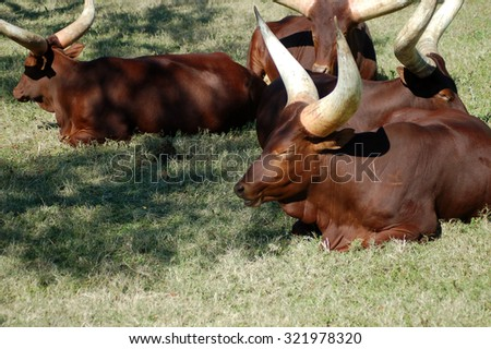 Herd of Ankole-Watusi African Sanga Cows lying in grasslands  - stock photo