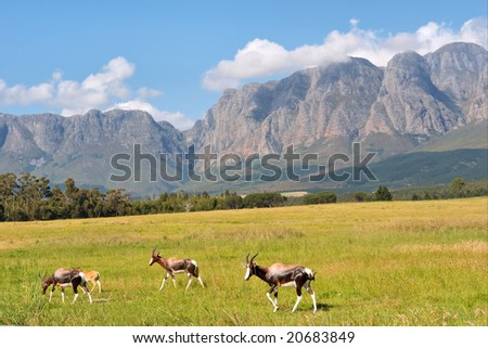 Herd of antelopes against amazing mountains. Shot in Hottentots-Holland Mountains nature reserve, near Somerset West/Cape Town, Western Cape, South Africa.