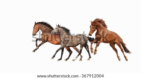 Herd of beautiful horses that gallop isolated on white background. Three Mustang in motion. - stock photo