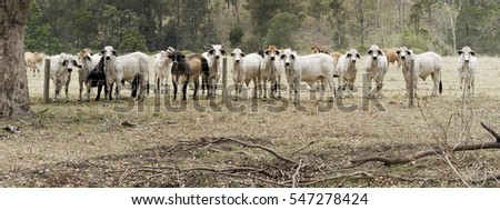 Herd of beef cattle and cows behind barb wire fence