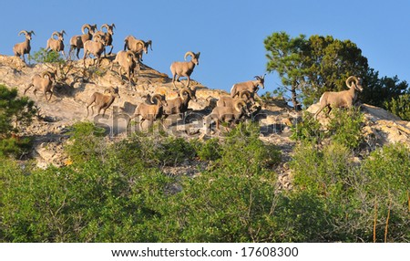 Big Horn Sheep Stock Images Royalty Free Images Vectors Shutterstock