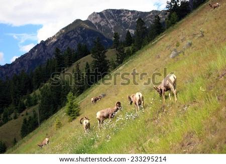 Herd of bighorn sheep on hillside in Alberta, Canada - stock photo